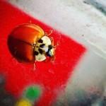 foto_denny_bini_coccinella_699x699
