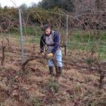 Pruning in the Casa Comerci vineyards